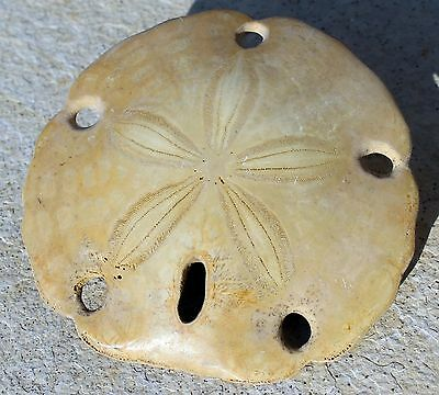 Extinct Fossil Sand Dollar,  Encope sp, Baja Mexico Polished Finish #1704