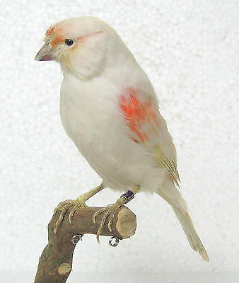 Taxidermy Canary Red mosaic with base Real Bird parrot perfect for collection