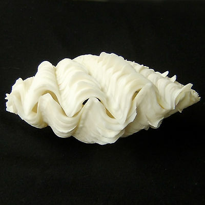 1 Pair Tridacna Squamosa Fluted Giant Scaly Clam Seashell 14cm FreeShipping 311a
