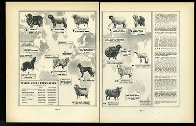 1931 10 sheep breeds & 3 dogs photo world sheep population map print article