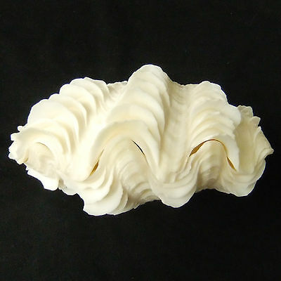 1 Pair Tridacna Squamosa Fluted Giant Scaly Clam Seashell 13.5cm Free Ship 308b