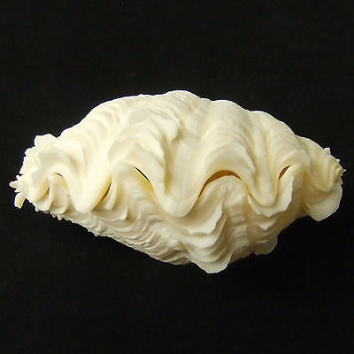 1 Pair Tridacna Squamosa Fluted Giant Scaly Clam Seashell 15cm FreeShipping 309b