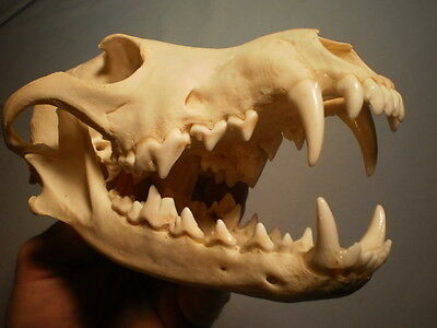 western Coyote Taxidermy SKULL 8   inches HUGE great teeth