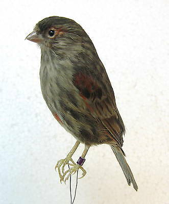 Taxidermy pastel dark brown Canary  only iron wire Real Bird  nice  preparation