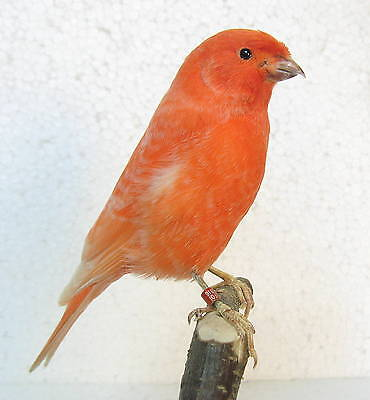 Taxidermy  Stuffing Super RED frosted Canary with base - Real Bird Parrot