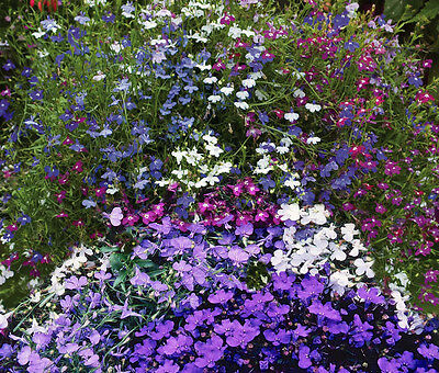 LOBELIA erimus String of pearls annual 1000 SEEDS  FLOWERS edges window boxes