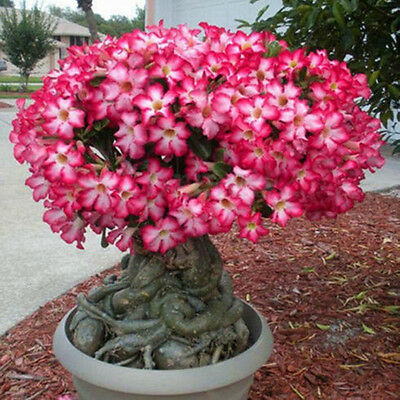 5PCS Rare Pink Adenium Obesum Desert Rose Seeds Flower Bonsai Tree Plant Decor