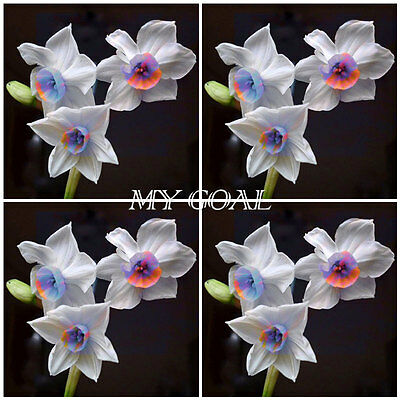 200Pcs Daffodil Narcissus Seeds Flower Colorful Plant Garden Bonsai Decor Mixed