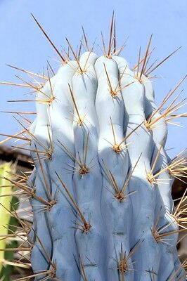 Azureocereus imperator - The Blue Cereus - 25  Seeds