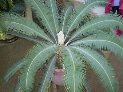 Dioon edule - Easy to Grow Cycad - Seeds
