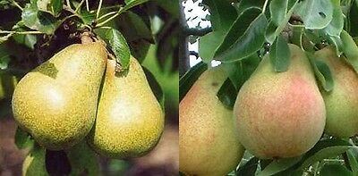 1X 4-5Ft Dwarf Family Duo Pear Tree - Williams & Conference - 5L Potted
