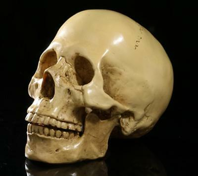 1:1 Split Human Skull Model Anatomical Medical Skeleton Halloween Yellow