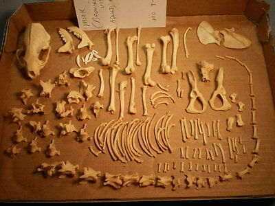 Taxidermy skeleton Mink real disarticulated sorted by bone type