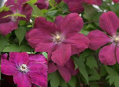 1X 3-4FT LARGE CLEMATIS Rouge Cardinal Red CLIMBING PLANT FLOWERS - 3L
