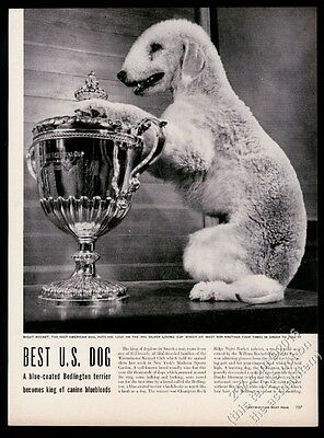 1948 Bedlington Terrier champion dog photo Westminster show print article