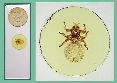 Antique Microscope Slide ~ Parasite of Sheep (Tick) ~  Whole Insect