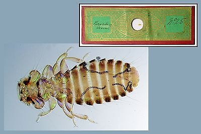 Antique Papered Microscope Slide ~ Parasite of Heron ~ Whole Insect Polariscope