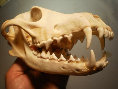western Coyote Taxidermy SKULL 8 1/4   inches HUGE great teeth