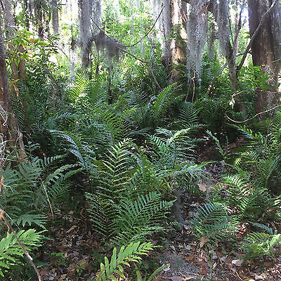 Resurrection Ferns From a Florida Oak Hammock  Four Rooted Plants $65