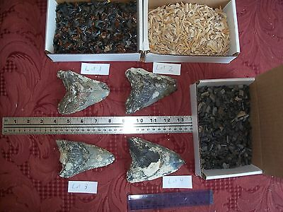 1 giant Megalodon fossil shark tooth and 100 fossil shark teeth