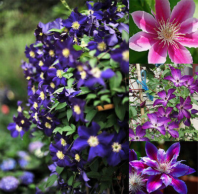 New 50Pcs Mixed Colours Clematis Flower Seeds Climbing Plants Home Garden BT104