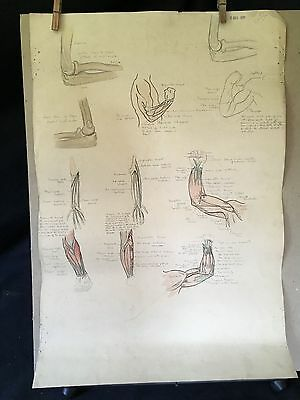Vintage anatomical signed drawing. 1930's anatomical studies. Arms and torso.