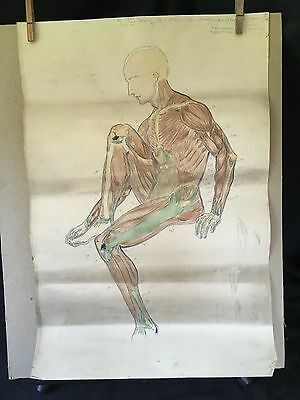 Vintage anatomical signed drawing. 1930's anatomical studies. Full male figure.
