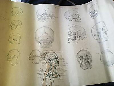 Vintage anatomical signed drawing. 1930's anatomical studies. Head and skull.