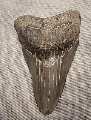 "Serrated 3 9/16"" Megalodon Shark Tooth Teeth Fossil Jaw Megladon No Repair Jewel"