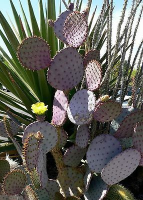 Opuntia santa-rita - Violet Prickly Pear -  Seeds