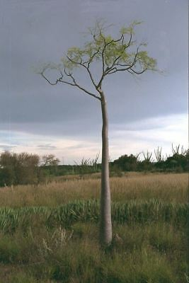Miracle Tree - Moringa oleifera -  Seeds