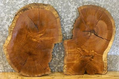 2-Salvaged Partial Live Edge White Oak Oval Cut Taxidermy Base Slabs 6026-6027
