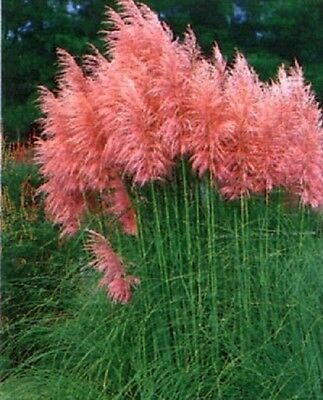 1X 3-4Ft Large Cortaderia Rosea Pink Pampas Grass - Established Plants - 2L
