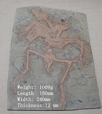Rare Chinese Best Triassic Archaeornis Real dinosaur Fossil FREE SHIPPING