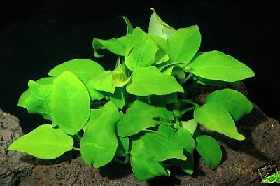 Anubias Gold -  Live Aquarium Plant Fish FREE Ship INV