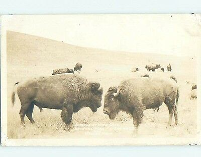 Pre-1949 rppc BUFFALO AT WIND CAVE NATIONAL PARK Hot Springs SD HM3329