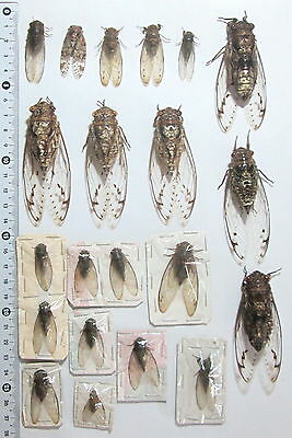 Cicadidae. 21 cicadas from West Kalimantan (8)