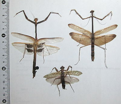 Mantodea, 3 from West Kalimantan. (23)