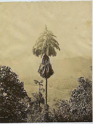 Tall Palm Tree In Ceylon / Sri Lanka c1880s By Skeen & Co.