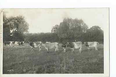 Herefordshire RP by Tilley & Son of a herd of cattle at Stretton Grandison @1915