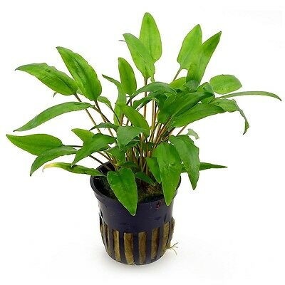 6 x 5 cm Pots of Cryptocoryne wendtii «Green» - Popular Aquatic Plant