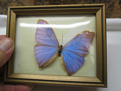 Real Vintage  Framed  Blue/Purble Butterfly   CONVEX GLASS