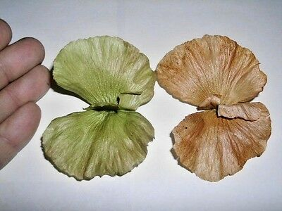 10 BUTTERFLY VINE SEEDS - Mascagnia macroptera