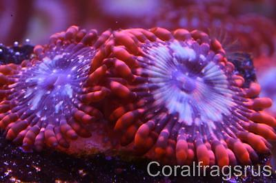 Marine coral,Zoanthus,Utter chaos,Large polyps,Rare zoas,Nice frag