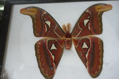 Attacus Atlas Moth M Butterfly Display Insect Taxidermy In Frame Free Shipping