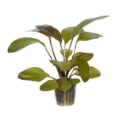 6 x 5 cm Pots of Echinodorus sp. «Ozelot Leopard Red»