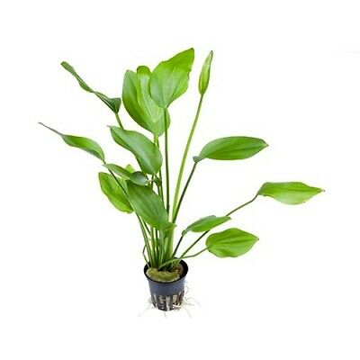 5 (Five) x 5 cm Pots of Echinodorus palaefolius - Popular Aquatic Plant