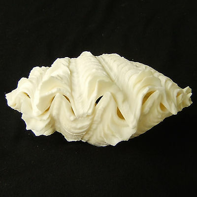 1 Pair Tridacna Squamosa Fluted Giant Scaly Clam 13.5cm Natural Seashell 344-8