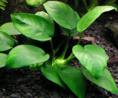 10 (Ten) x Loose Plants of Anubias barteri «Species» - Hardy Aquatic Plant