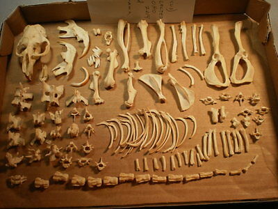 Taxidermy skeleton muskrat real  disarticulated clean sorted by bone type